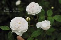 栗毛の薔薇 - 彼とカヲリの庭の関係