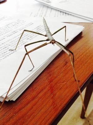 アマミナナフシ - ~目指す!スーパー昆虫博士~ Future Entomologist