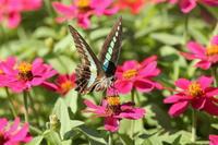 蝶が好む花(2011-2016):ヒャクニチソウ(ジニア) - Butterfly & Dragonfly