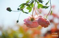 秋薔薇、愛し恋し - + 10%