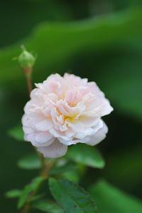 返り咲きをもつ我が家生まれのバラ - 「あなたに似た花。」