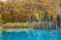 紅葉の青い池 - Nature Photo 森の声