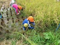 しろやま共同保育園の子どもたちが稲刈りに挑戦しました! - さいき食のまちづくり