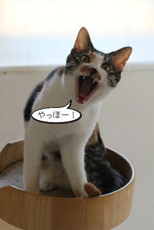 三毛猫さん叫ぶ!とセンター収容中のシニア猫さんたち - 保護猫さんのご縁探し