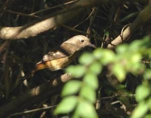 ジョウビタキ - 多摩子の鳥見・散歩