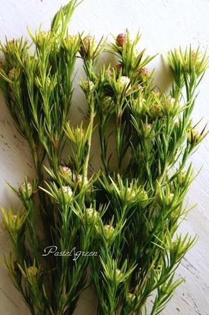 リューカデンドロンケープスパイス - Pastel green-Flower diary