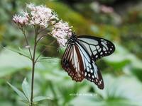 藤袴と2千キロを旅する蝶アサギマダラ♪ - アリスのトリップ