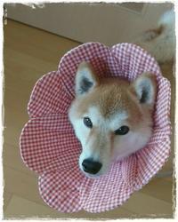 柴犬の茶美ちゃん♪ - ハンドメイドのエリザベスカラー ★☆お花エリカラ☆★