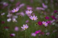 昭和記念公園 コスモス - ぐまのブログ
