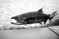 千歳川底の鼻曲り鮭と繁殖行動 - 照片画廊
