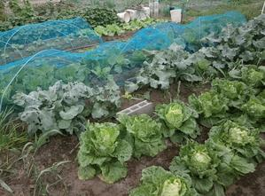 タアサイと玉葱の混植と「てがるごぼう」の近況 - ブルーベリーの育て方& 栽培 ブルーベリー ノート BlueBerryNote