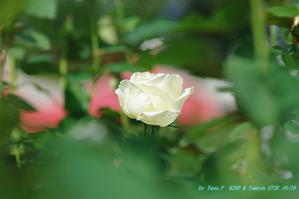 天気がいいから薔薇園に行こう! - お山な日々・・・時々町
