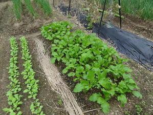 葉物野菜の種蒔きとキャベツ・ブロッコリーの植え付けNO2 - 道草だより