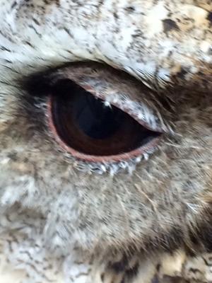 2016年10月24日月曜日(岡山15) - 銀蔵さんスンダオオコノハズクの飼育記録