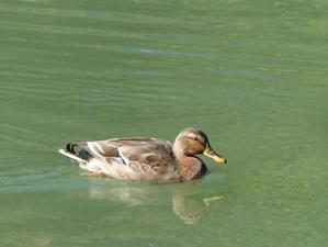 またもカモ - 多摩子の鳥見・散歩