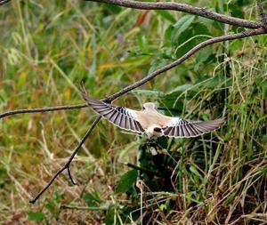 サバクヒタキの動きのあるものを・・・ - 一期一会の野鳥たち