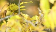 ビンズイ - 北の野鳥たち