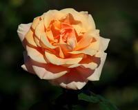 敷島公園・バラ園で 秋バラ ~ 10月24日 撮影 ~ - 星の小父さまフォトつづり