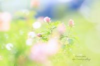 ** autumn rose ** - こころいろ*photo