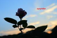 シルエットのばら - ジージーライダーの自然彩彩