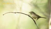 ウグイス - 北の野鳥たち