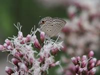 フジバカマに集う蝶たち Byヒナ - 仲良し夫婦DE生き物ブログ