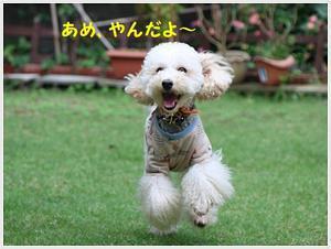 午前中の雨も止んで、2わんずは本当に楽しそう~どんだけ外が好きなのかね( *´艸`)クスクス - さくらおばちゃんの趣味悠遊