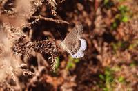 クロマダラソテツシジミ 初見&初撮り(10/27) - 三鷹の狸のてふてふ交遊録