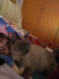 子猫卒業のフローラ - MINKWIN Cattery &Pretty Aki