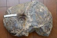 化石の○○?   ○○の化石? - ふぉっしるもしてみむとてするなり