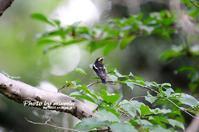 秋の渡り キビタキ - azure 自然散策 ~自然・季節・野鳥~