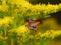 富田都市農業交流センターで蛾蝶(ホシホウジャク、初見マエキノメイガ、クロコノマチョウ、ベニシジミ) - 花と葉っぱ
