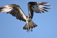 ミサゴとか…マミチャジナイとか… - 淡路島の野鳥ブログ...++
