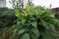 田舎ではカンナと呼ばれていた巨大な植物 - もるとゆらじお