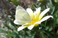季節も終わりなのに蝶を接写 - スポック艦長のPhoto Diary