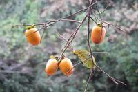 ■ 果樹3種   16.11.5   (柿、金柑、柚子) - 舞岡公園の自然2