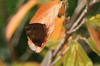 地元でムラサキツバメの観察 - 蝶超天国