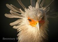 ヘビクイワシ:Secretary bird - 動物園の住人たち写真展