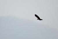 チュウヒ出た! - 淡路島の野鳥ブログ...++