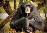 フクロテナガザル:Siamang - 動物園の住人たち写真展