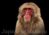 ニホンザル:Japanese Macaqu - 動物園の住人たち写真展