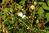蝶に挑戦 - じいじとばあばのフォトライフ