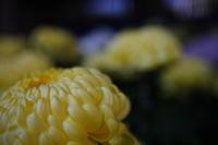 pot mum - 花は桜木、