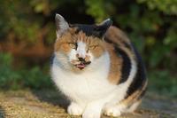 野良ミケちゃん - ネコと裏山日記