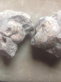 稚内市HUアンモナイト - 化石最北ブログダダーン