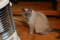 Tonkinese female,Flora. - MINKWIN Cattery &Pretty Aki