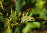 ヤクシマルリシジミの幼虫探し - 蝶超天国