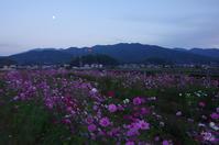 明日香村奥山 秋桜晩秋 - ぶらり記録(写真) 奈良・大阪・・・