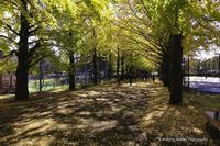 黄葉の銀杏並木2016 - くにちゃん3@撮影散歩