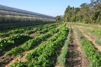 冬野菜本番 - 仁左衛門のアスパラ日記
